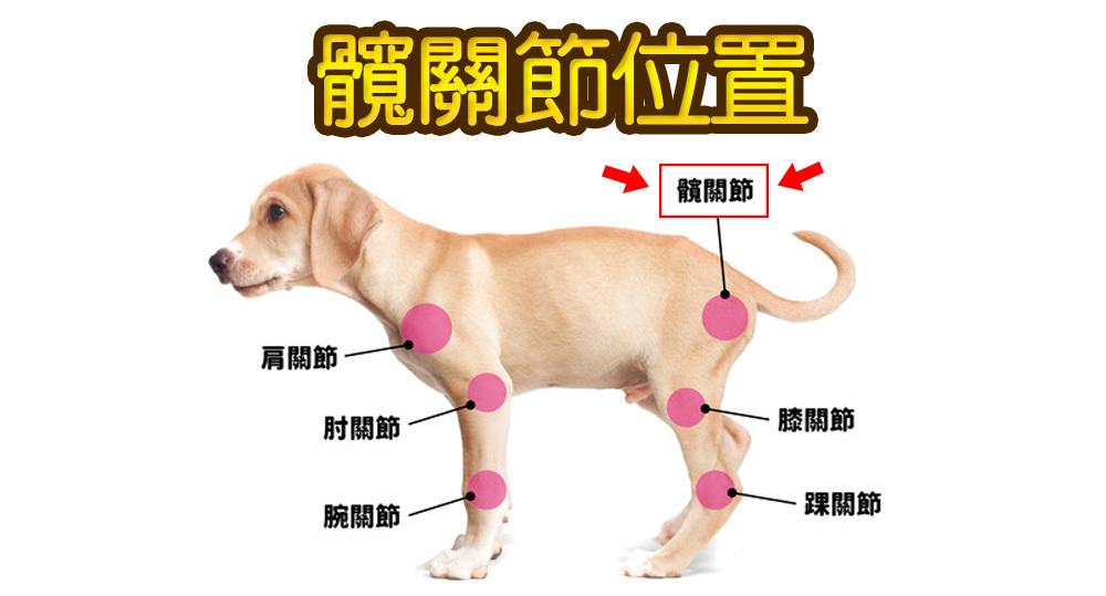 狗髋关节, 狗髋关节按摩, 狗髋关节手术, 狗髋关节权威, 狗髋关节针灸, 狗髋关节保养, 髋关节瘫痪狗, 狗髋关节脱臼, 狗狗髋关节骨折, 不能忽视狗狗髋关节问题