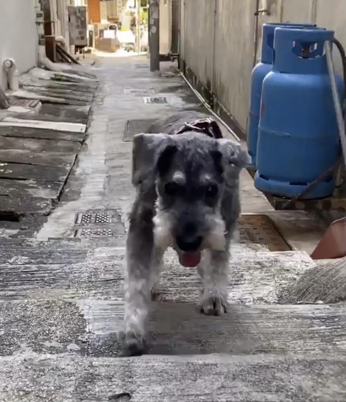 15岁老狗一直唔肯行,食咗神仙粉!而家唔再日日瞓喺度! | 狗狗健康/